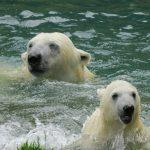 Grönland: Eisbären